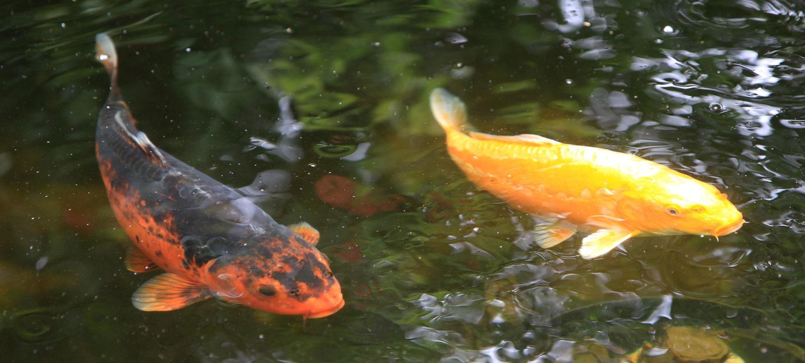 Les carpes koi archives jardins aquatiques for Acheter poisson vivant pour etang