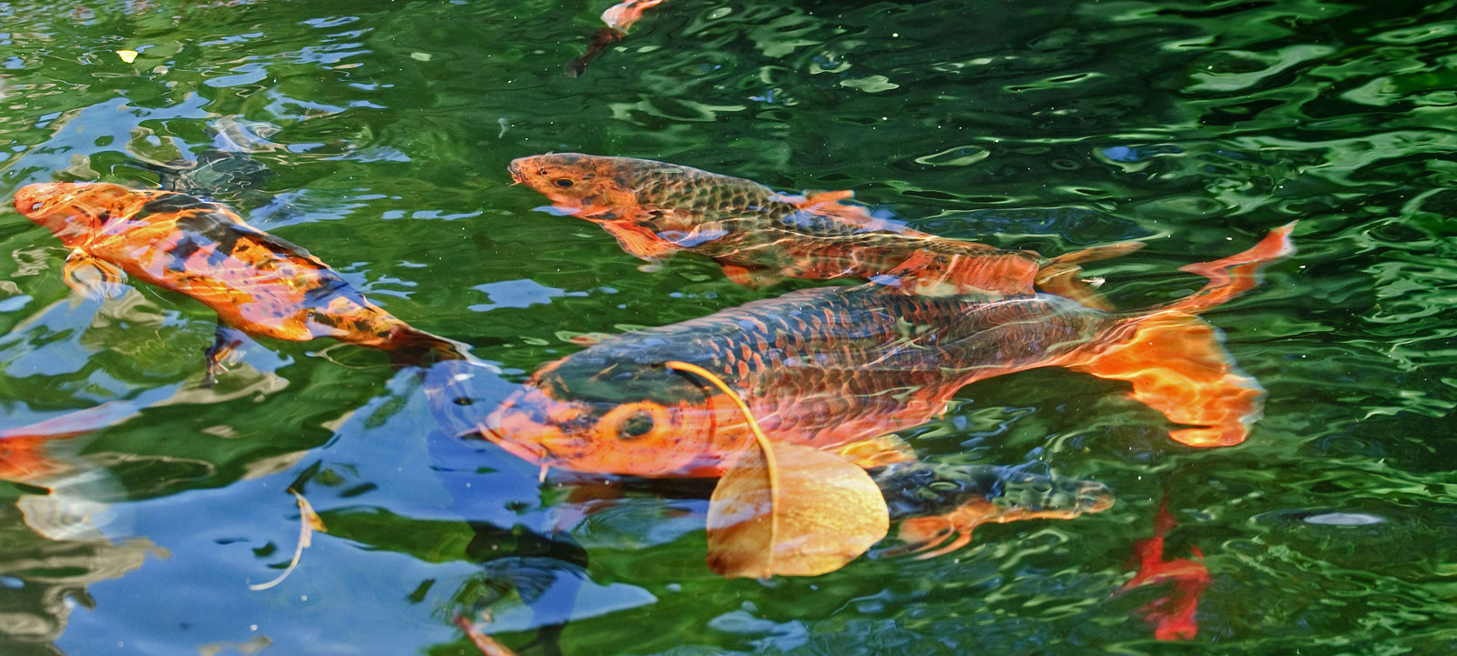 Pourquoi les carpes koi sautent hors de l 39 eau jardins for Koi qui se gratte