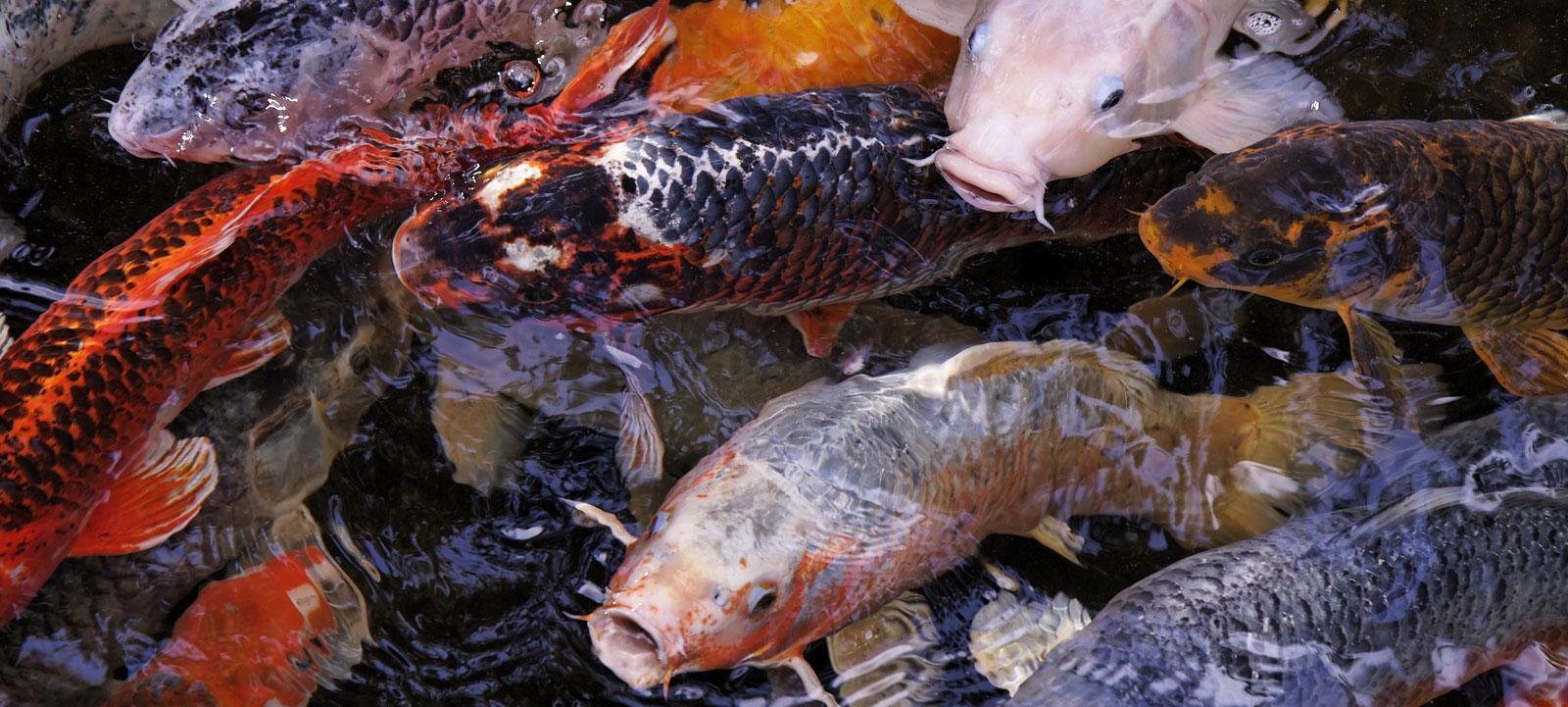 Comment lever des carpes koi jardins aquatiques for La carpe koi