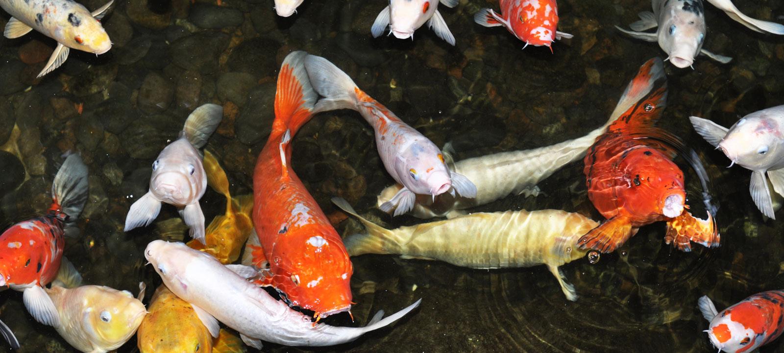 Temp rature de l 39 eau et sant des poissons jardins for Poisson koy